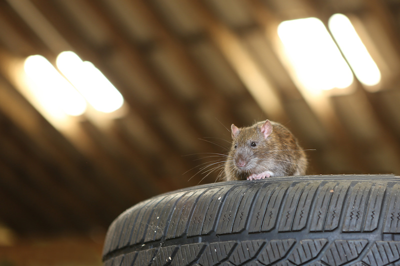 A rat in a garage that came in from an open door