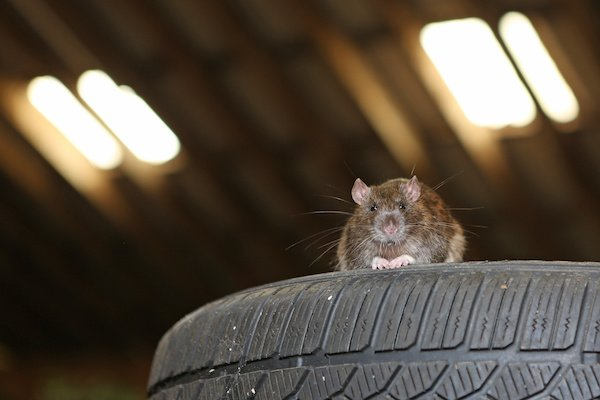 A rat that has snuck into a garage by finding a hole in the weather stripping